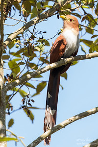Squirrel Cuckoo - Record - Mindo, Ecuador