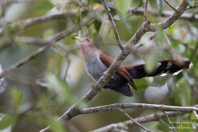 Squirrel Cuckoo - Record - San Isidro Lodge, Ecuador