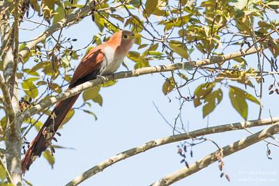 Squirrel Cuckoo - Record - Mindo, Ecuador