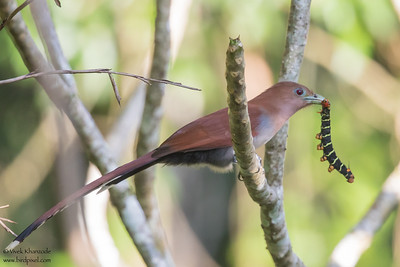 Squirrel Cuckoo - Green Hills, Belize