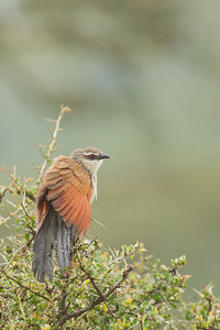 White-browed Coucal - Lake Nakuru National Park, Kenya