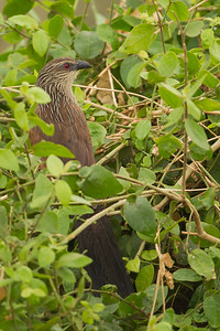 White-browed Coucal - Lake Manyara National Park, Tanzania