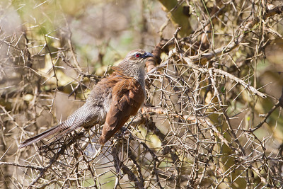 White-browed Coucal - Arusha National Park, Tanzania