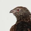 Female Pheasant Coucal (Centropus phasianinus)