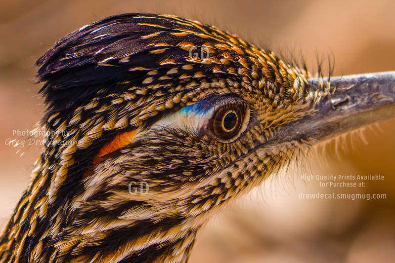 The Roadrunner Up Close