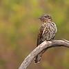 Brush Cuckoo juvenile (Cacomantis variolosus)