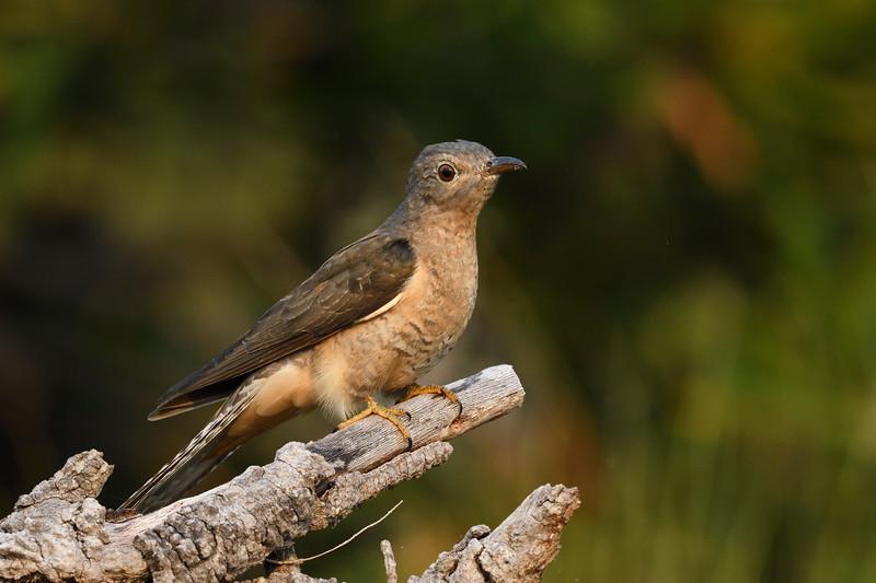 Fan-tailed Cuckoo juvenile (Cacomantis flabelliformis)