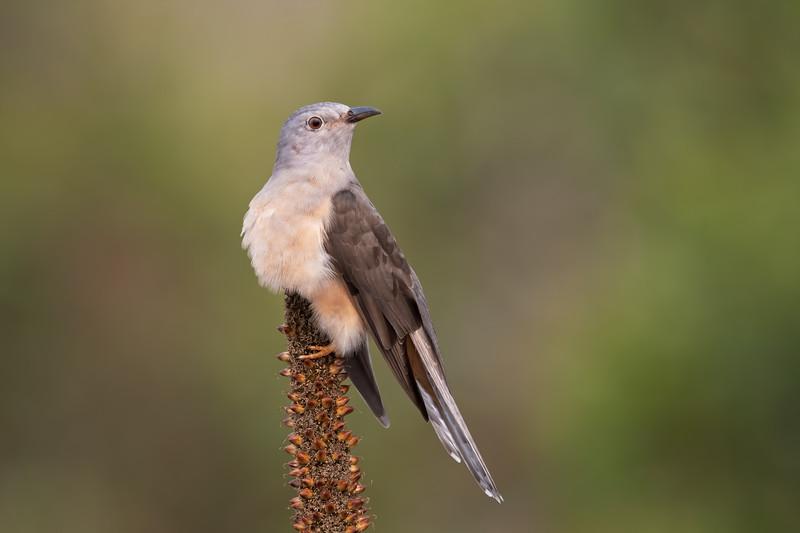 Brush Cuckoo adult (Cacomantis variolosus)