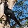 Male Eastern Koel (Eudynamys orientalis)