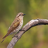 Horsfield's bronze cuckoo (Chrysococcyx basalis)