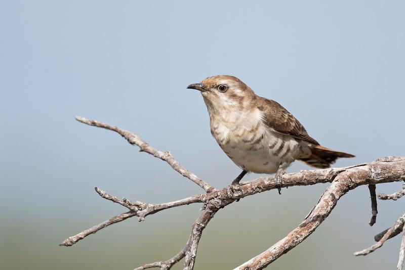 Horsfield's bronze cuckoo immature (Chrysococcyx basalis)