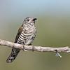 Shining Bronze-Cuckoo (Chrysococcyx lucidus)