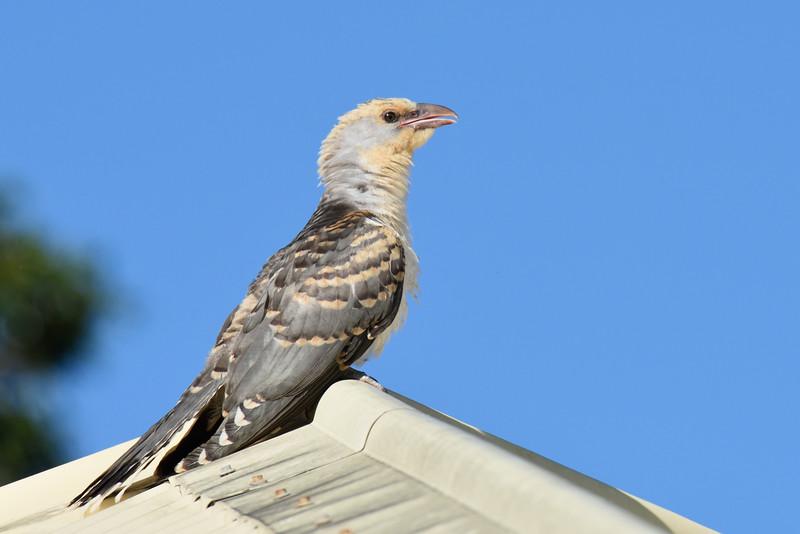 Juvenile Channel-billed Cuckoo (Scythrops novaehollandiae)