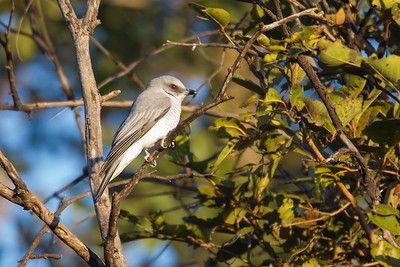 Large Cuckooshrike - Record - Pench National Park, Madhya Pradesh, India
