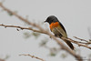 Small Minivet - Male - Kutch, Gujrat, India