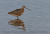 Long Billed Curlew (b0262)
