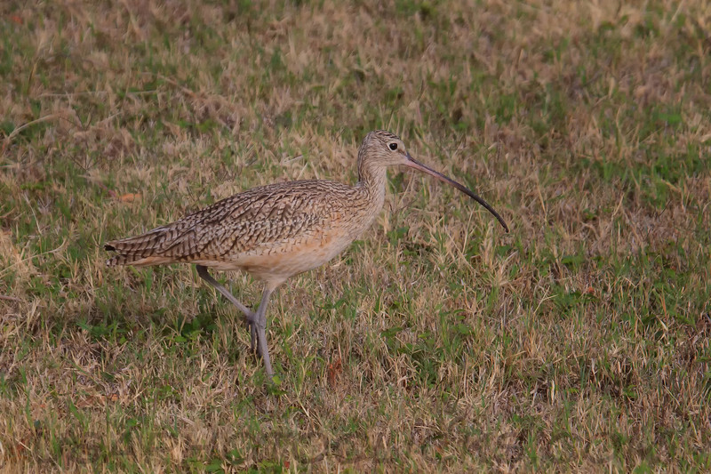 Long Billed Curlew (b0261)