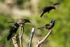 Blackbird tree-1728
