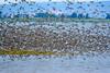 Peep flock, Avonport-2750