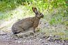 Snowshoe hare-3937
