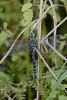 Dragonfly-5488