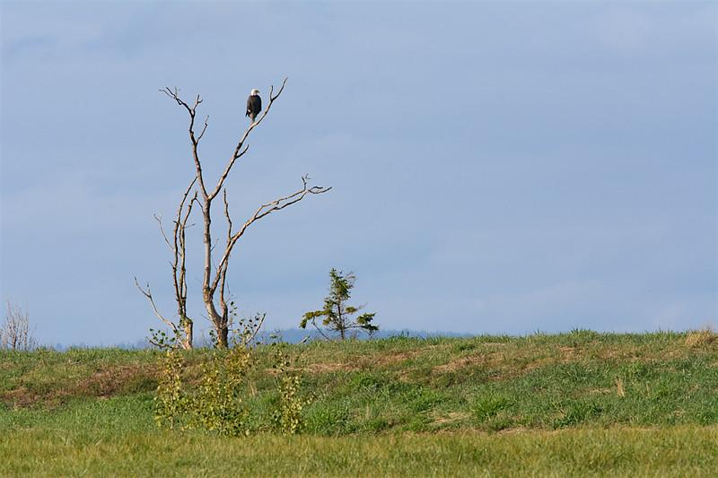 Eagle tree-5256