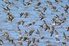 Peep flock, Avonport-2754