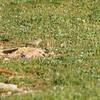 lesser short-toed lark ?