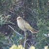 isabelline wheatear (? - non-breeding plumage)