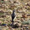 isabelline wheatear (breeding plumage)