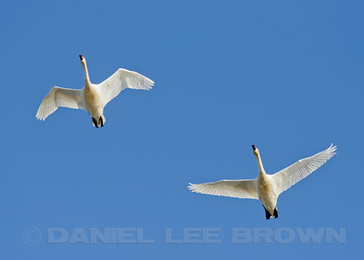 Tundra Swans. DFG Swan Tour in Distrist 10, Yuba County, CA, led by Brian Gilmore and Dan Brown, 11-24-12. Cropped image.