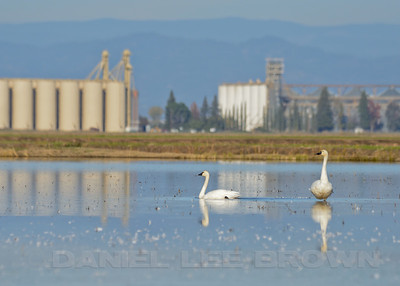 Tundra Swans and rice drying facility. DFG Swan Tour in Distrist 10, Yuba County, CA, led by Brian Gilmore and Dan Brown, 11-24-12. Cropped image.