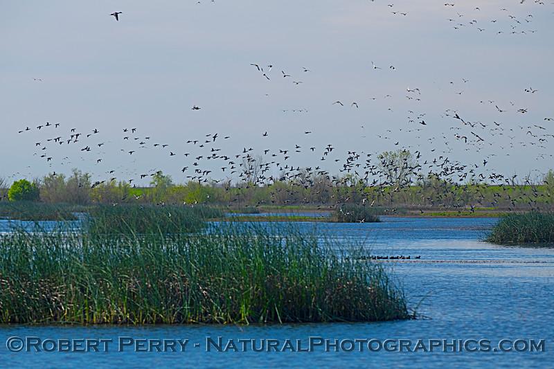 wetlands scene Anas platyrhynchos flocks 2020-03-10 Yolo ByPass--032