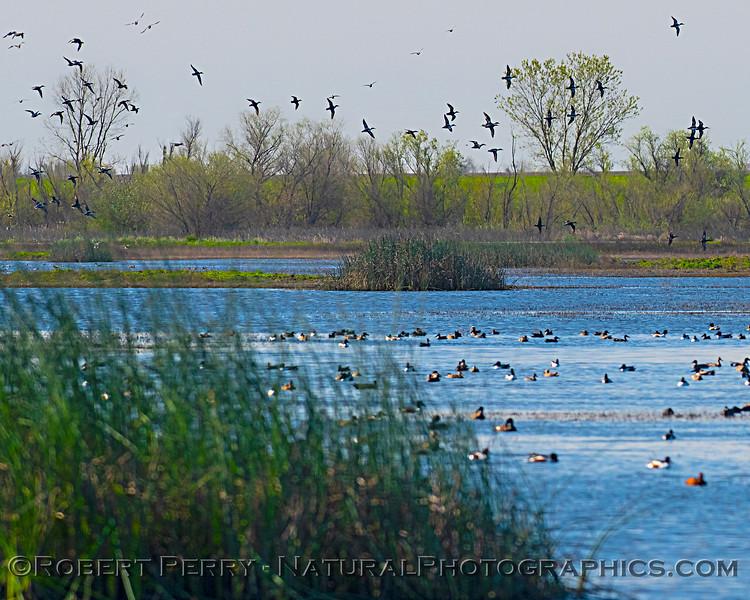wetlands scene Anas platyrhynchos flocks 2020-03-10 Yolo ByPass--050