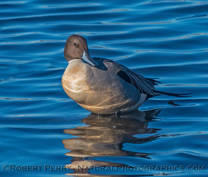 Anas acuta northern pintail duck 2016 12-21 Colusa-007
