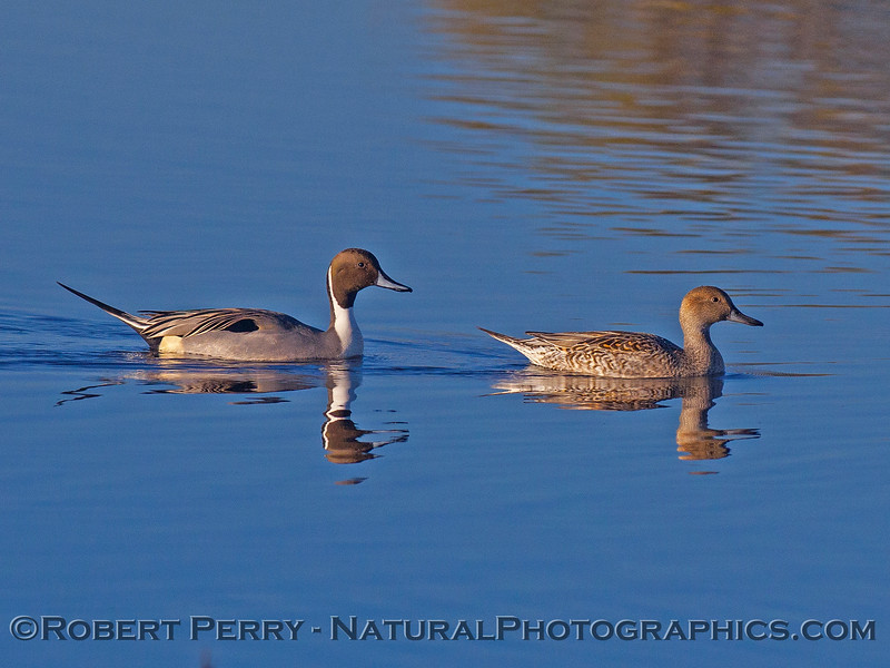 Anas acuta northern pintail duck 2016 12-16 Cosumnes River Preserve-021