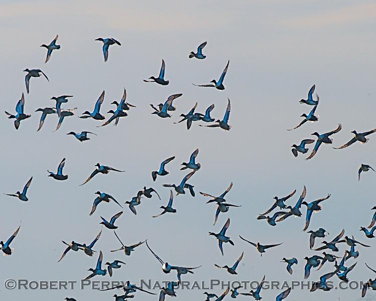 Anas platyrhynchos flock 2020-03-10 Yolo ByPass--015