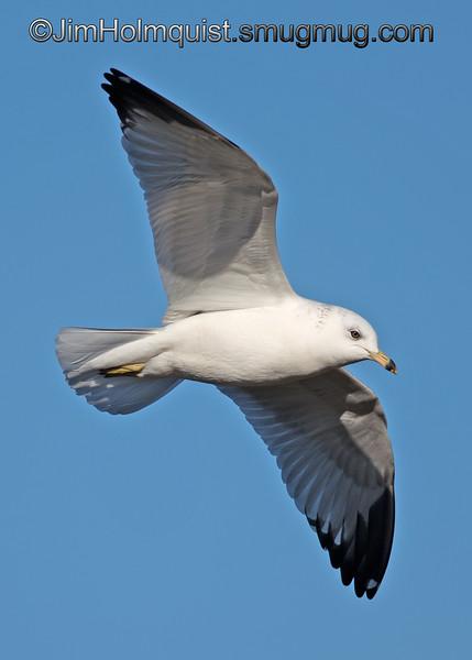 Herring Gull (I believe) - taken near Olympia, Wa.<br /> <br /> I appreciate the comments!