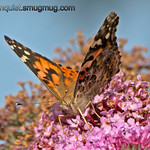 Painted Lady Butterfly - near Olympia, Wa.