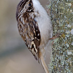 Brown Creeper - climbing up a tree looking for insects near Olympia, Wa.