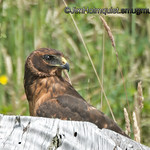Young Northern Harrier - taken in July near Tenino, Wa.<br /> <br /> I will be traveling to visit family until late next week. I may have limited internet access but hopefully I can get online here and there.