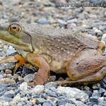 Bullfrog - Taken in early November near Olympia, Wa.