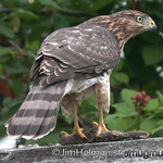 Cooper's Hawk - near Olympia, Wa