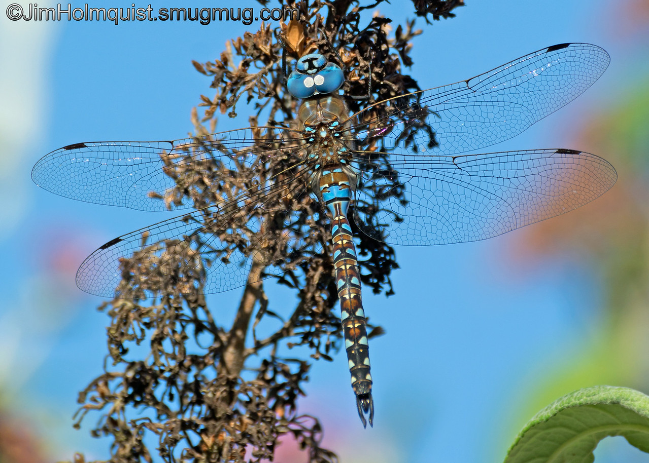 Blue Eyed Darner Dragonfly - I could be wrong about ID but it looks close. Taken near Olympia, Wa.