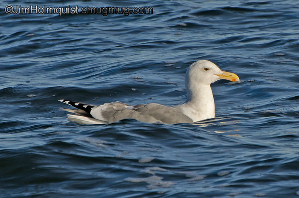 Herring Gull - Oceans Shores, Wa.