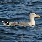 Herring Gull - Oceans Shores, Wa.