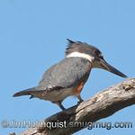 Belted Kingfisher - Scattercreek near Olympia, Wa. Taken in 2010.