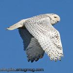 Snowy Owl - near Ocean Shores, Wa. Taken in January.