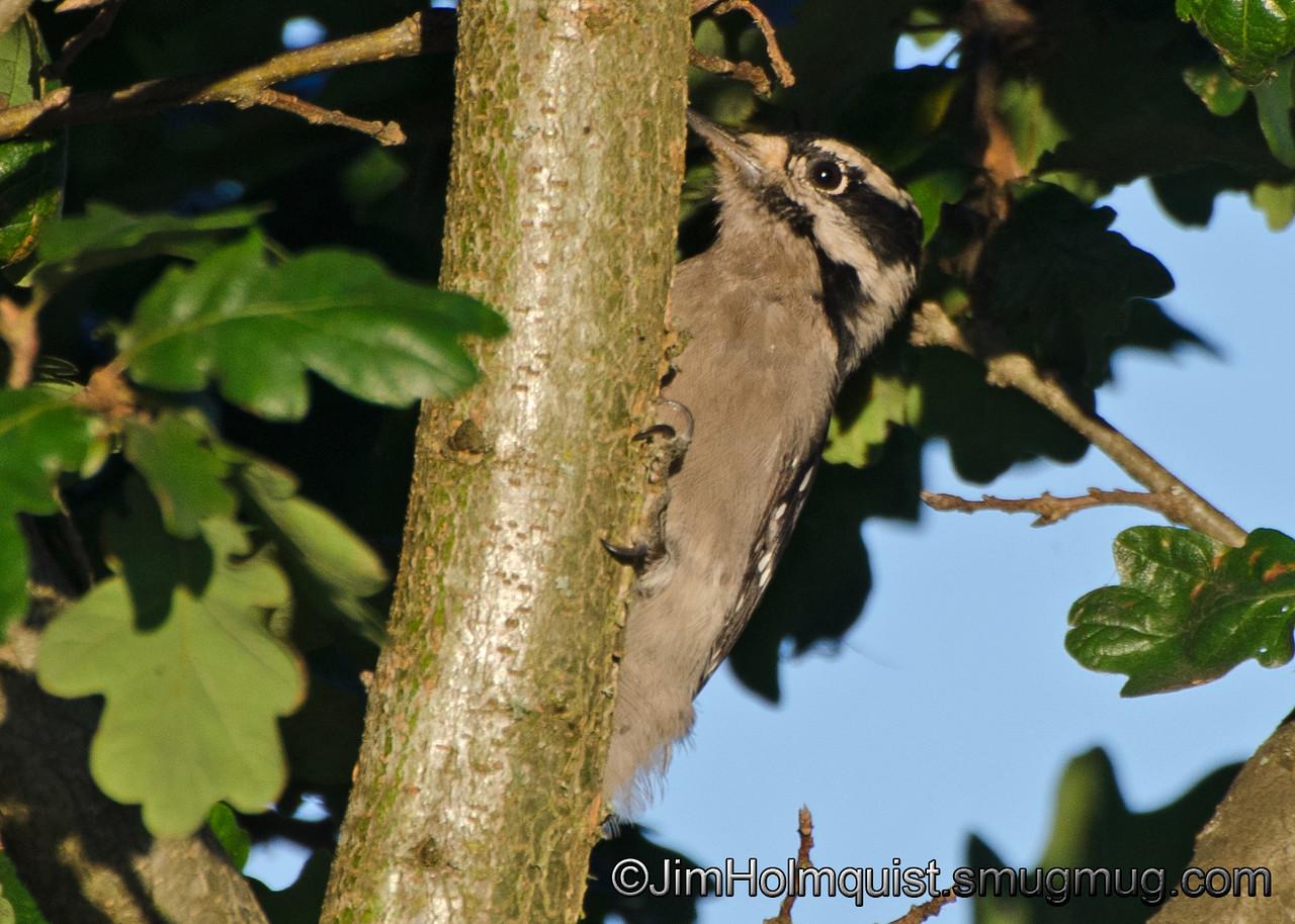 Downy Woodpecker - taken in a park near Olympia, Wa.