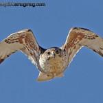 Ferruginous Hawk - Taken in June at Snake River Birds of Prey area near Kuna, ID.